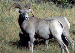 Sierra Nevada bighorn sheep