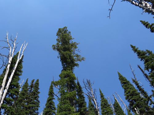 Whitebark Pines in the Mission Mountains Wilderness