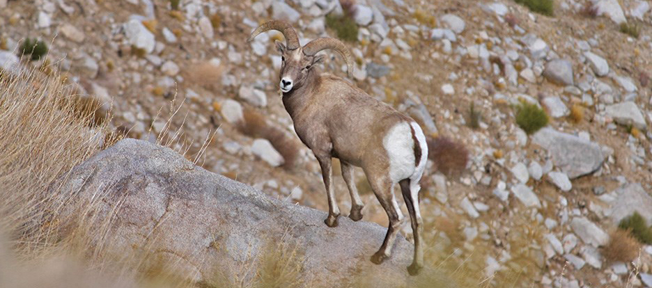 Bighorn sheep by Steve Yeager